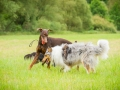Gaia_Langhaarcollie_Maggy_Border_Collie_Rough_bluemerle_tricolor_Spencer_brauner_Dobermann_Hundefreunde_Freunde_Gassi (34)