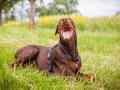 Hundemaedchen_Maggy_Gaia_Border_Collie_Rough_Langhaarcollie_Mischling_Besuch_Spencer_Dobermann_Hundefreunde_Tierfotografie_Marburg (14)