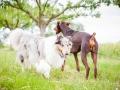 Hundemaedchen_Maggy_Gaia_Border_Collie_Rough_Langhaarcollie_Mischling_Besuch_Spencer_Dobermann_Hundefreunde_Tierfotografie_Marburg (3)