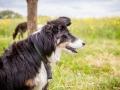 Hundemaedchen_Maggy_Gaia_Border_Collie_Rough_Langhaarcollie_Mischling_Besuch_Spencer_Dobermann_Hundefreunde_Tierfotografie_Marburg (37)