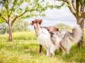 Hundemaedchen_Maggy_Gaia_Border_Collie_Rough_Langhaarcollie_Mischling_Besuch_Spencer_Dobermann_Hundefreunde_Tierfotografie_Marburg (44)