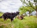 Hundemaedchen_Maggy_Gaia_Border_Collie_Rough_Langhaarcollie_Mischling_Besuch_Spencer_Dobermann_Hundefreunde_Tierfotografie_Marburg (5)