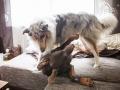 Hundemaedchen_Maggy_Gaia_Border_Collie_Rough_Langhaarcollie_Mischling_Besuch_Spencer_Dobermann_Hundefreunde_Tierfotografie_Marburg (59)