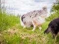 Hundemaedchen_Maggy_Gaia_Border_Collie_Rough_Langhaarcollie_Mischling_Besuch_Spencer_Dobermann_Hundefreunde_Tierfotografie_Marburg (6)