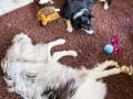 Hundemaedchen_Maggy_Gaia_Border_Collie_Rough_Langhaarcollie_Mischling_Besuch_Spencer_Dobermann_Hundefreunde_Tierfotografie_Marburg (73)