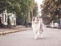 Tierfotografie_Marburg_Hundefotografie_Hund_Langhaarcollie_Rough_Collie_Gaia_bluemerle_Fotoshooting_City_Stadt_Shooting (39).jpg