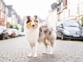 Tierfotografie_Marburg_Hundefotografie_Hund_Langhaarcollie_Rough_Collie_Gaia_bluemerle_Fotoshooting_City_Stadt_Shooting (7).jpg