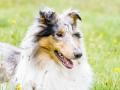 Langhaarcollie_Rough_Collie_Gaia_bluemerle_Hundefotografie_Marburg_Tierfotografie_Hund_Fotografin_Christine_Hemlep (3).jpg
