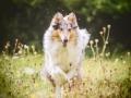 Langhaarcollie_Rough_Collie_Gaia_bluemerle_Hundefotografie_Marburg_Tierfotografie_Hund_Fotografin_Christine_Hemlep (5).jpg