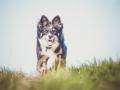 Hundefotografie_Tierfotografie_Marburg_Fotografin_Christine_Hemlep_Hund_Border_Collie_Mischling_tricolor_Maggy (11)