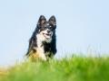 Hundefotografie_Tierfotografie_Marburg_Fotografin_Christine_Hemlep_Hund_Border_Collie_Mischling_tricolor_Maggy (13)
