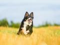 Hundefotografie_Tierfotografie_Marburg_Fotografin_Christine_Hemlep_Hund_Border_Collie_Mischling_tricolor_Maggy (25)