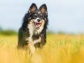 Hundefotografie_Tierfotografie_Marburg_Fotografin_Christine_Hemlep_Hund_Border_Collie_Mischling_tricolor_Maggy (31)