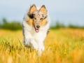 Hundefotografie_Tierfotografie_Marburg_Fotografin_Christine_Hemlep_Hund_Langhaarcollie_Collie_blue_merle_Gaia (106)
