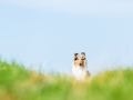 Hundefotografie_Tierfotografie_Marburg_Fotografin_Christine_Hemlep_Hund_Langhaarcollie_Collie_blue_merle_Gaia (37)