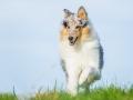 Hundefotografie_Tierfotografie_Marburg_Fotografin_Christine_Hemlep_Hund_Langhaarcollie_Collie_blue_merle_Gaia (52)