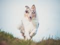 Hundefotografie_Tierfotografie_Marburg_Fotografin_Christine_Hemlep_Hund_Langhaarcollie_Collie_blue_merle_Gaia (65)