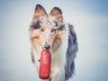 Hundefotografie_Tierfotografie_Marburg_Fotografin_Christine_Hemlep_Hund_Langhaarcollie_Collie_blue_merle_Gaia (74)