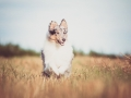 Hundefotografie_Tierfotografie_Marburg_Fotografin_Christine_Hemlep_Hund_Langhaarcollie_Collie_blue_merle_Gaia (86)