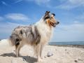 Hundemaedchen_Gaia_Rough_Collie_Langhaarcollie_bluemerle_Strand_Ostsee_Klein_Waabs_Schleswig_Holstein_Urlaub_Hund_Meer_Sand (29)