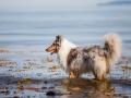 Hundemaedchen_Gaia_Rough_Collie_Langhaarcollie_bluemerle_Strand_Ostsee_Klein_Waabs_Schleswig_Holstein_Urlaub_Hund_Meer_Sand (49)