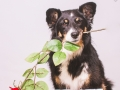 Border_Collie_Mischling_Maedchen_Maggy_tricolor_Hundefotografie_Marburg_Studioaufnahme_Happy_Birthday (1)