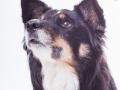 Hundefotografie_Tierfotografie_Marburg_Fotografin_Christine_Hemlep_Border_Collie_Mischlingshund_tricolor_Mix_Studio_senior_Maggy (19)