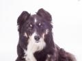 Hundefotografie_Tierfotografie_Marburg_Fotografin_Christine_Hemlep_Border_Collie_Mischlingshund_tricolor_Mix_Studio_senior_Maggy (29)