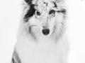 Hundefotografie_Tierfotografie_Marburg_Fotografin_Christine_Hemlep_Langhaarcollie_Collie_blue_merle_Studio_Junghund_Gaia (26)