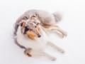 Hundefotografie_Tierfotografie_Marburg_Fotografin_Christine_Hemlep_Langhaarcollie_Collie_blue_merle_Studio_Junghund_Gaia (3)