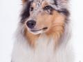 Hundefotografie_Tierfotografie_Marburg_Fotografin_Christine_Hemlep_Langhaarcollie_Collie_blue_merle_Studio_Junghund_Gaia (33)
