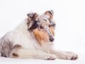 Hundefotografie_Tierfotografie_Marburg_Fotografin_Christine_Hemlep_Langhaarcollie_Collie_blue_merle_Studio_Junghund_Gaia (51)