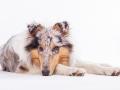 Hundefotografie_Tierfotografie_Marburg_Fotografin_Christine_Hemlep_Langhaarcollie_Collie_blue_merle_Studio_Junghund_Gaia (53)