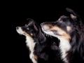 Hundefotografie_Marburg_Frankfurt_Giessen_Tierfotografie_Fotografin_Christine_Hemlep_Hund_Border_Collie_Mischling_Maggy_tricolor (1)