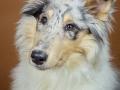 Langhaarcollie_Rough_Collie_Bluemerle_Gaia_Tierfotografie_Hundefotografie_Marburg_Studio_Portrait_Hund_Fotografin_Christine_Hemlep (5)