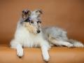 Langhaarcollie_Rough_Collie_Bluemerle_Gaia_Tierfotografie_Hundefotografie_Marburg_Studio_Portrait_Hund_Fotografin_Christine_Hemlep (7)