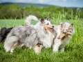 Shetland_Sheepdog_Collie_Langhaarcollie_Sheltie_Rough_Collie_blue_merle_tricolor_Welpe_Gaia_Baby_Terence_Lio_Maggy_Border_Collie_Mischling_Treffen_Marburg_HemlepFotografi (15)