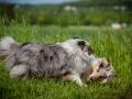 Shetland_Sheepdog_Collie_Langhaarcollie_Sheltie_Rough_Collie_blue_merle_tricolor_Welpe_Gaia_Baby_Terence_Lio_Maggy_Border_Collie_Mischling_Treffen_Marburg_HemlepFotografi (16)