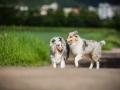 Shetland_Sheepdog_Collie_Langhaarcollie_Sheltie_Rough_Collie_blue_merle_tricolor_Welpe_Gaia_Baby_Terence_Lio_Maggy_Border_Collie_Mischling_Treffen_Marburg_HemlepFotografi (25)