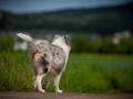 Shetland_Sheepdog_Collie_Langhaarcollie_Sheltie_Rough_Collie_blue_merle_tricolor_Welpe_Gaia_Baby_Terence_Lio_Maggy_Border_Collie_Mischling_Treffen_Marburg_HemlepFotografi (38)