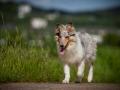 Shetland_Sheepdog_Collie_Langhaarcollie_Sheltie_Rough_Collie_blue_merle_tricolor_Welpe_Gaia_Baby_Terence_Lio_Maggy_Border_Collie_Mischling_Treffen_Marburg_HemlepFotografi (42)