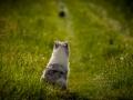 Shetland_Sheepdog_Collie_Langhaarcollie_Sheltie_Rough_Collie_blue_merle_tricolor_Welpe_Gaia_Baby_Terence_Lio_Maggy_Border_Collie_Mischling_Treffen_Marburg_HemlepFotografi (60)