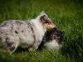 Shetland_Sheepdog_Collie_Langhaarcollie_Sheltie_Rough_Collie_blue_merle_tricolor_Welpe_Gaia_Baby_Terence_Lio_Maggy_Border_Collie_Mischling_Treffen_Marburg_HemlepFotografi (69)