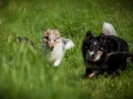 Shetland_Sheepdog_Collie_Langhaarcollie_Sheltie_Rough_Collie_blue_merle_tricolor_Welpe_Gaia_Baby_Terence_Lio_Maggy_Border_Collie_Mischling_Treffen_Marburg_HemlepFotografi (71)