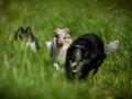 Shetland_Sheepdog_Collie_Langhaarcollie_Sheltie_Rough_Collie_blue_merle_tricolor_Welpe_Gaia_Baby_Terence_Lio_Maggy_Border_Collie_Mischling_Treffen_Marburg_HemlepFotografi (72)