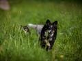 Shetland_Sheepdog_Collie_Langhaarcollie_Sheltie_Rough_Collie_blue_merle_tricolor_Welpe_Gaia_Baby_Terence_Lio_Maggy_Border_Collie_Mischling_Treffen_Marburg_HemlepFotografi (73)