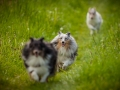 Shetland_Sheepdog_Collie_Langhaarcollie_Sheltie_Rough_Collie_blue_merle_tricolor_Welpe_Gaia_Baby_Terence_Lio_Maggy_Border_Collie_Mischling_Treffen_Marburg_HemlepFotografi (8)