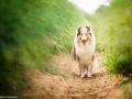 hundemaedchen_Gaia_Langhaarcollie_Collie_Hundeshooting_Shooting_Fotograf_Nina_Herr (1)