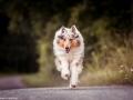 hundemaedchen_Gaia_Langhaarcollie_Collie_Hundeshooting_Shooting_Fotograf_Nina_Herr (2)