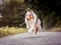 hundemaedchen_Gaia_Langhaarcollie_Collie_Hundeshooting_Shooting_Fotograf_Nina_Herr (3)